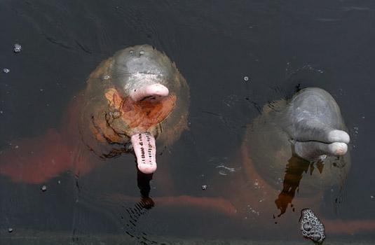 Pink dolphins - Black river - Manaus Brazil